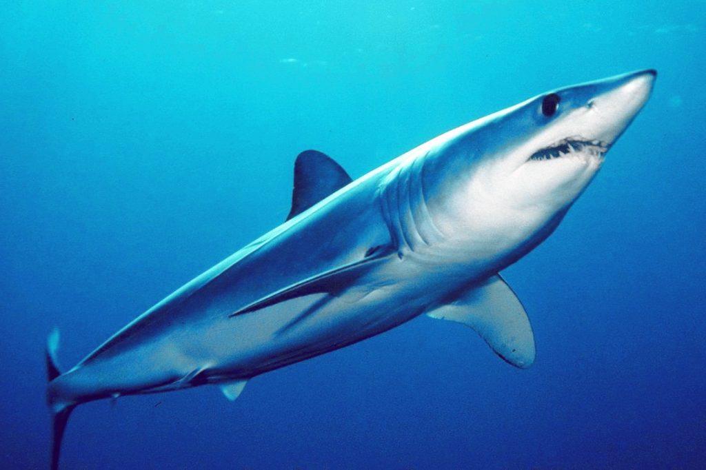 tiburón mako-protección