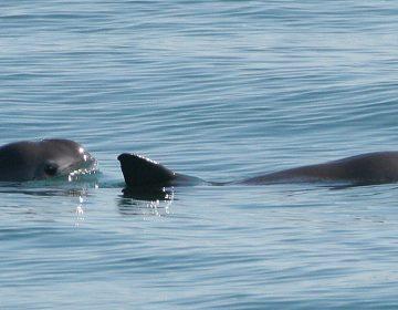 Países advierten a México que debe evitar la extinción de la vaquita marina