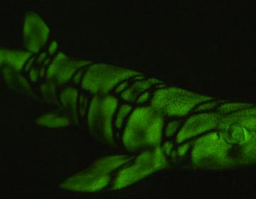 Científicos descubren por qué algunas especies de tiburones brillan en la oscuridad