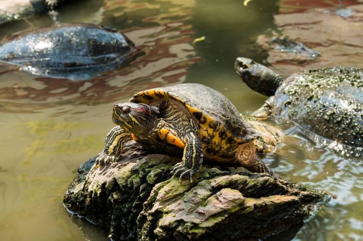 Los embriones de tortuga pueden usar el proceso de determinación sexual contra el cambio climático