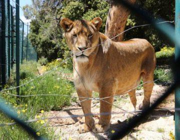 Condenados a muerte: El lado oscuro de los santuarios de leones en África