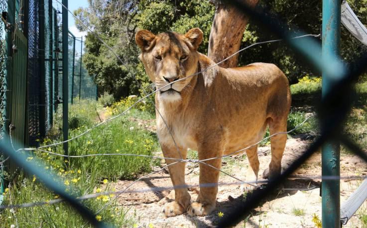 santuarios-leones-africa-caceria
