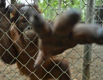 """Sandra, la orangutana considerada """"sujeto no humano"""" será trasladada a EU para tratar una depresión"""