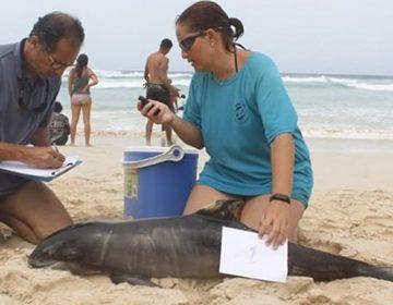 Más de 130 delfines mueren en Cabo Verde por un varamiento masivo