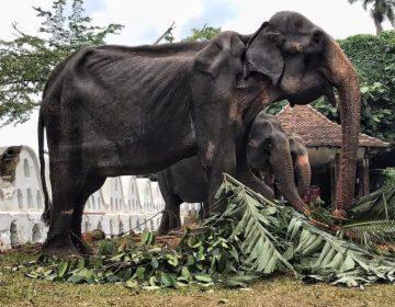 Muere la elefanta que fue maltratada durante 70 años en Sri Lanka