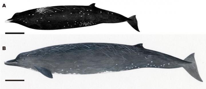 ballena-cetaceo
