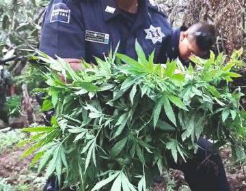 Localizan predios con 20 mil plantas de marihuana en la Sierra del Laurel