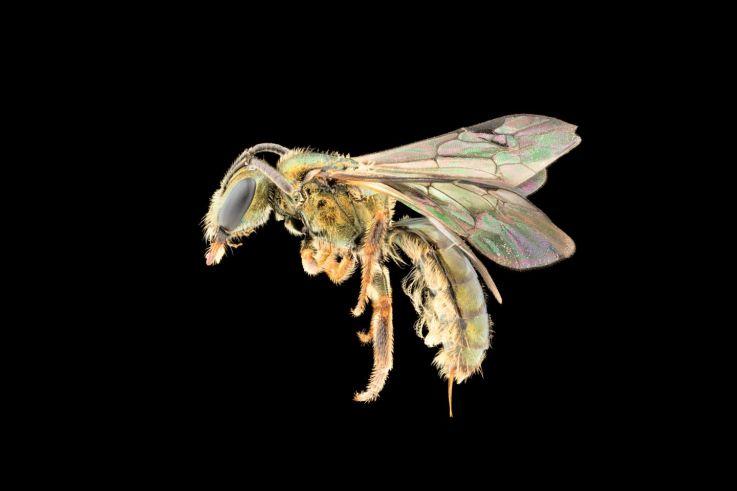 Descubren nueva especie de abeja… que ya está en peligro de extinción por el cambio climático