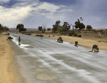 Al menos 20 canguros murieron atropellados intencionalmente en Australia