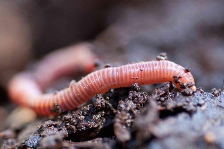 Científicos descubren que los microplásticos atrofian el crecimiento de los gusanos y los hacen perder peso