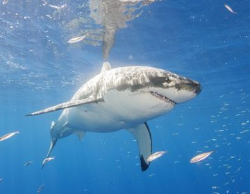 Usan un dron para alertar a surfista de la presencia de un tiburón