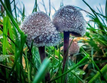 Investigan el alcaloide de los hongos alucinógenos como tratamiento para la depresión