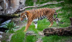 Mueren 86 tigres que el gobierno de Tailandia había rescatado…