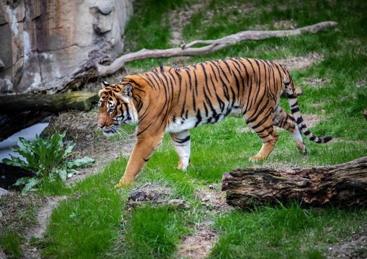 Mueren 86 tigres que el gobierno de Tailandia había rescatado de un templo