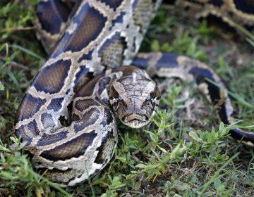 Una mujer fue encontrada muerta con una serpiente en el cuello, en Indiana
