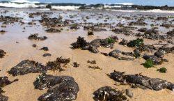 Manchas de petróleo llegan a las playas turísticas más importantes…
