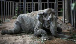 Ramba, una elefanta rescatada de un circo, llega a un…
