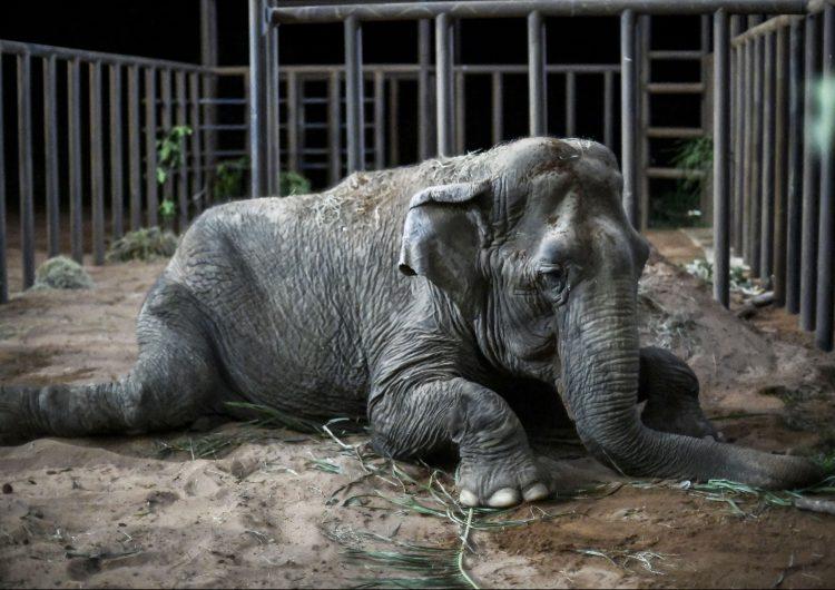 Ramba, una elefanta rescatada de un circo, llega a un santuario en Brasil
