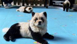 ¿Pandas o perros? El debate por animales pintados en un…