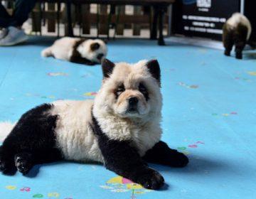 ¿Pandas o perros? El debate por animales pintados en un café de China