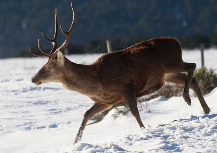 Cazador de Arkansas muere tras ser atacado por un ciervo al que le había disparado