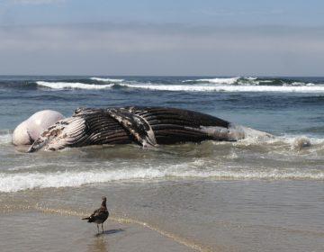 Hallan 17 ballenas varadas en una playa de Indonesia; siete murieron