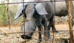Al rescate del cerdo pelón en Yucatán