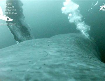 Un video documenta cómo las ballenas se alimentan mediante burbujas
