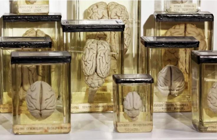 Científicos logran mantener vivo durante un mes el tejido cerebral de ratones
