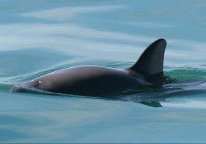 Denuncian presencia de barcos pesqueros en zona de protección de vaquita marina