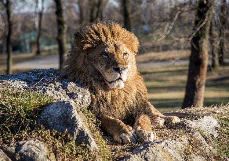 Decomisan 342 kilos de huesos de leones en un aeropuerto de Sudáfrica