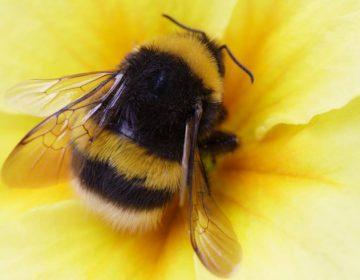 Los abejorros han dejado de dormir para cuidar de las crías, incluso cuando no son suyas