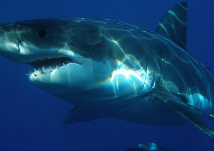 Un tiburón arranca el pie de un turista inglés en Australia