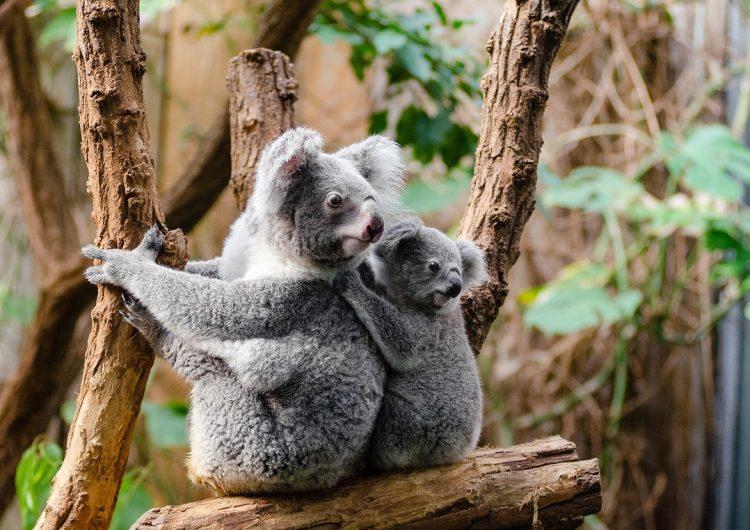 Cientos de koalas podrían haber muerto por los incendios forestales en Australia