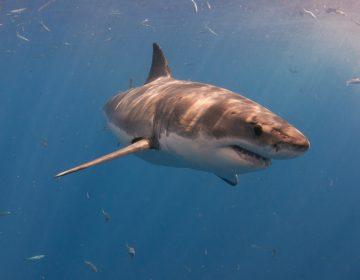 Detectan en el Golfo de México a Unama'ki, un tiburón blanco de 4.7 metros