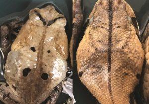 Científicos descubren un sapo gigante que finge ser una víbora para evitar a sus depredadores