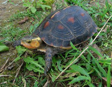 Decenas de tortugas en peligro de extinción desaparecen de un zoológico en Japón