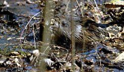 Castores ayudarán a enfrentar inundaciones y mejorar la biodiversidad en…