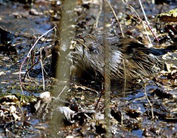Castores ayudarán a enfrentar inundaciones y mejorar la biodiversidad en Inglaterra