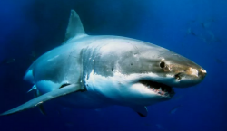 Video | Un grupo de orcas persiguen a un tiburón…