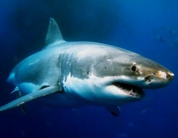Video | Un grupo de orcas persiguen a un tiburón blanco en Sudáfrica