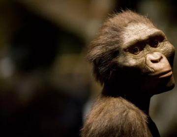Los grandes simios de hoy día probablemente son más inteligentes que nuestros ancestros prehumanos