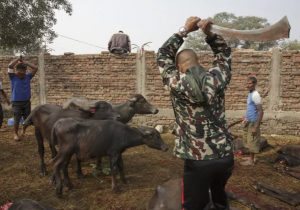 El ritual a la diosa Gadhima, en Nepal, que culmina con el sacrificio de miles de animales