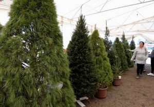 Por venta árboles navideños se preve derrama de 10 mdp en Puebla