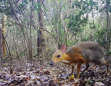 """No estaba extinto: reaparece el """"ciervo ratón"""" vietnamita después de casi 30 años"""
