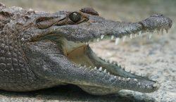 Un australiano sobrevive a ataque de cocodrilo metiéndole un dedo…