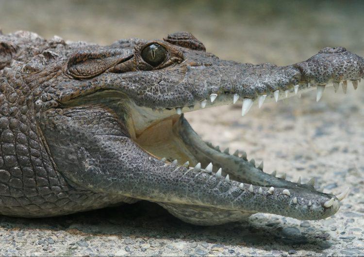 Un australiano sobrevive a ataque de cocodrilo metiéndole un dedo en un ojo