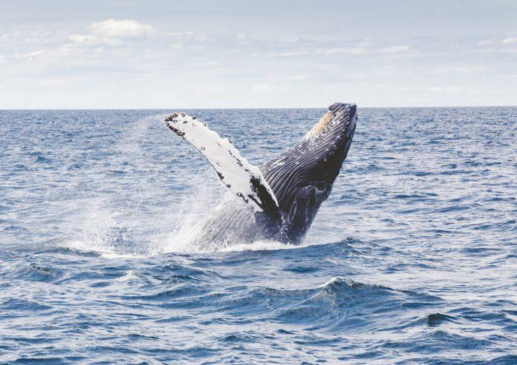 Fragmentos de petróleo llegan a santuario de ballenas en Brasil