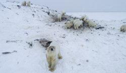 Más de 50 osos polares se quedan varados en una…
