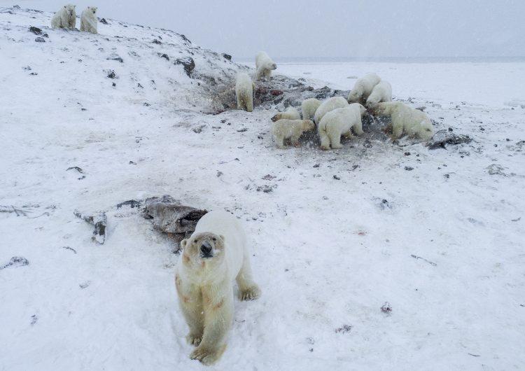 Más de 50 osos polares se quedan varados en una aldea de Rusia